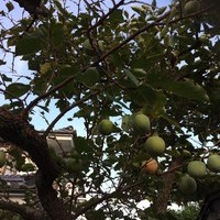 東京都福生市 柿の木イラガの薬剤散布 Y様
